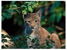 Le Lynx Comparer Assurance Auto