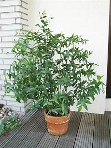 eukalyptus zimmerpflanze kaufen