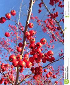 berries on a crataegus tree in winter stock image
