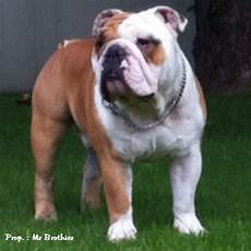 bulldog anglais a vendre mating or marriage realised with the bulldog breed