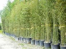 grande jardinière pour bambou vos bambous et vous vos questions vos photos ici