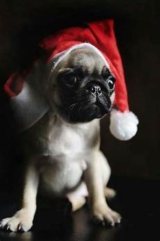 merry christmas pugs pug puppies cute pugs