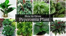 Peperomia Plant How Did Radiator Plants Become The Best