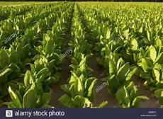 deutschland rheinland pfalz herxheim hayna tabak anbau