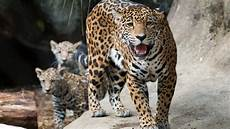 jaguar the houston zoo