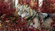 Aesthetic Wolf Wallpaper Pc
