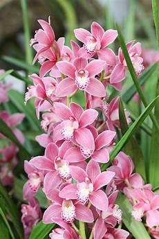 cymbidium orchideen pflege cymbidium orchidee cymbidium pflege vermehrung