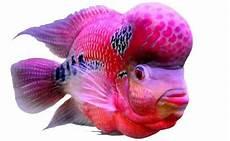 10 jenis jenis ikan louhan tercantik paling banyak dicari reel mancing