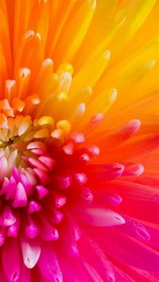 iphone x wallpaper hd flowers beautiful colourful flower petals collection of 47 macro