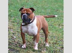 Olde English Bulldogge   Wikipedia