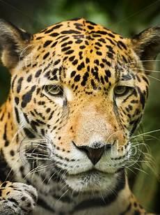 beautiful jaguar cat panthera onca in up portrait thpstock