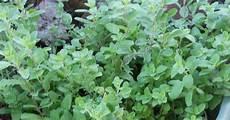 Kitchen Garden A To Z by A Kitchen Garden In Kihei Growing Culinary Herbs