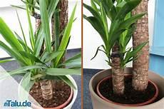 Palmlilie Yucca Elephantipes Pflege Im Zimmer Talu De