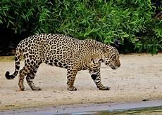 Pic Of Jaguar by Jaguar In Brazil Cuiaba River The Pantanal