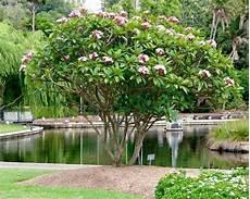fiore frangipane frangipane fiore piante da giardino fiore frangipane