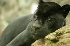 Le Jaguar Un Animal En Voie De Disparition