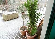 Oleander Draussen überwintern - oleander 220 berwinterung tipps und wie ich es mache