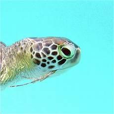 watercolor turtle green turtle 15 st usvi digital art by carlson imagery