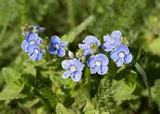 blumen klein kleine blaue blumen stockfoto colourbox