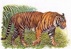 Cuma Gambar Macan Djawa Akasianapedia