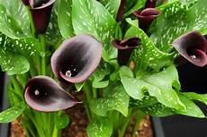 black flowers and plants hgtv