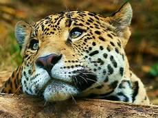 Pic Of Jaguar by Jaguar Animal Facts