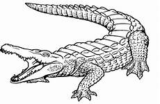 nile crocodile coloring page at getdrawings free