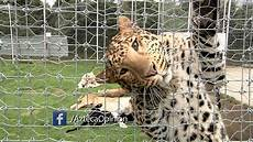 black jaguar white tiger ep166 tocando vidas black jaguar white tiger