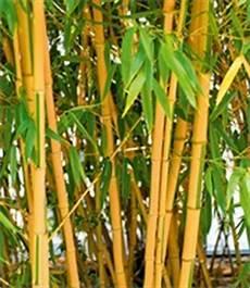 roter bambus asian 1a qualit 228 t kaufen baldur garten