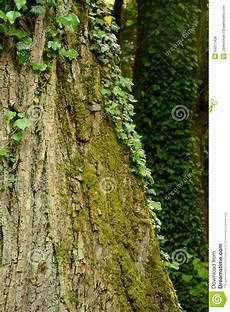 Lierre Et Mousse Sur Le Tronc D Arbre Photo Stock Image