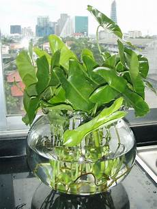 plante d eau gwak nguen tropical creeping and foliage plants lat s