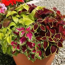 pflegeleichte zimmerpflanzen wenig licht buy coleus wizard mixed plants j s
