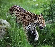 jaguar information for jaguar facts for