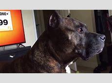 Brindle pitbull barking   YouTube