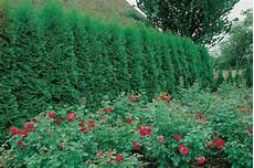Schnellwachsende Hecke Immergrün - schnellwachsende hecken f 252 r individuelle gartengestaltung