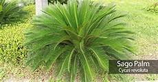 sago palm care a cycas revoluta growing guide