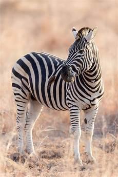 Das Zebra Bild Kaufen Verkaufen