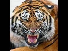 Harimau Kelaparan Galak Mengamuk