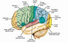 Anatomi Otak Fungsi Struktur Gambar Kecil Cara Kerja