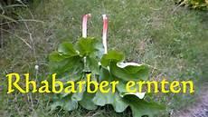 Wie Lange Kann Rhabarber Ernten - ab wann kann rhabarber ernten rp81