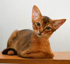 cat breeders abyssinian cats cats