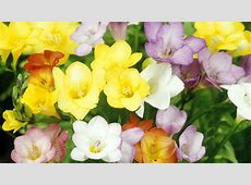 FREESIA ? Southern Living