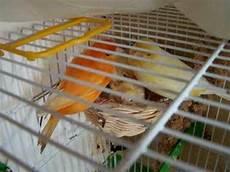 canarini alimentazione pre come allevare un canarino abbandonato dalla madre doovi