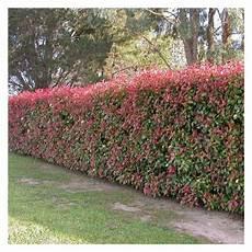 photinia hecke robin robin hecke schweizer versand baumschule 12 pflanzen