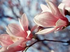 magnolia fiore fiori magnolia fiori delle piante