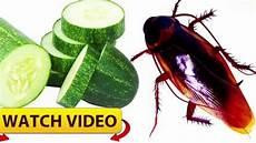 se débarrasser des blattes cafards 3 astuces qui fonctionnent pour les radiquer bugs