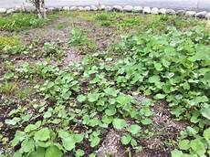 heart shaped leaf invasive ground cover ask an expert