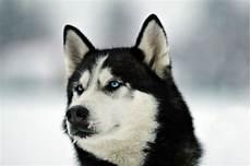 siberian husky hunde