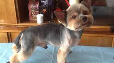 Yorkie Haircuts Pictures Summer Cuts | yorkie s summer haircut youtube