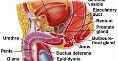 Anatomi Reproduksi Pria Organ Hormon Niatku